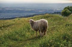 Close-up van schapen, gebieden, bossen en heuvels dichtbij de stad van Frascati Stock Afbeeldingen