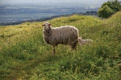 Close-up van schapen, gebieden, bossen en heuvels dichtbij de stad van Frascati Royalty-vrije Stock Foto's