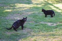 Close-up van schoonheids zwarte katten Stock Foto