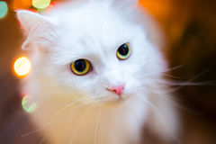 Close-up van shorthair witte kat Royalty-vrije Stock Foto