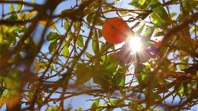 Close-up van sinaasappelen op een boom stock videobeelden