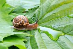 Close-up van slak op het groene blad Stock Afbeeldingen