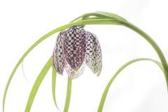 Close-up van slang` s hoofdbloem Royalty-vrije Stock Foto