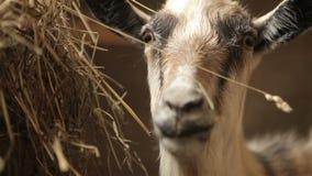 Close-up van snuit van geit in de stal wordt geschoten die stock video