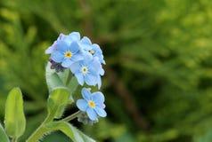 Close-up van sommige myosotisbloemen (vergeet-mij-nietje royalty-vrije stock fotografie