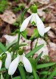 Close-up van sommige sneeuwklokjes in het bos stock foto