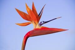 Close-up van spectaculaire een vogel-van-paradijs bloem met lichtblauwe achtergrond stock afbeelding