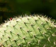 Close-up van stekels op cactus royalty-vrije stock fotografie