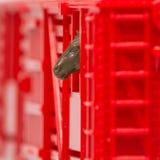 Close-up van stuk speelgoed auto die van de veetrein met de treinautoraam van het paardhoofd uit de gluren royalty-vrije stock afbeeldingen