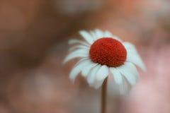 Close-up van surreal madeliefjebloem met rood centrum Stock Afbeeldingen