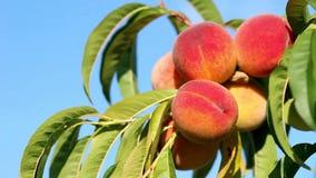 Close-up van tak met verse rijpe perziken en bladeren op de boom Blauwe hemel als achtergrond Zonnige winderige dag stock video