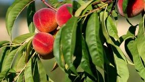 Close-up van tak met verse rijpe perziken en bladeren op de boom Zonnige winderige dag stock footage