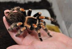 Tarantula op hand Stock Foto