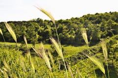 Close-up van tarwe op bomenachtergrond stock foto