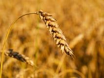 Close-up van tarweaar op de achtergrond van het tarwegebied stock fotografie