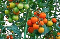 Close-up van tomaten Stock Afbeelding