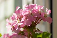 Close-up van tot bloei komende Ooievaarsbek, houseplant bloeien Stock Foto's