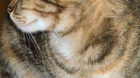 Close-up van tricolor gestreepte kat, gekleurde katachtig, huisdierenachtergrond royalty-vrije stock foto's