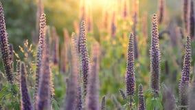 Close-up van trillende purpere kruiden in het volledige bloeien in zonsondergang wordt geschoten die stock video