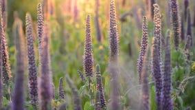 Close-up van trillende purpere kruiden in het volledige bloeien in zonsondergang wordt geschoten die stock videobeelden