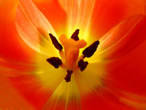 Close-up van tulp Royalty-vrije Stock Fotografie