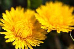 Close-up van twee bloeiende gele paardebloembloemen Royalty-vrije Stock Afbeeldingen