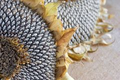 Close-up van twee droge zonnebloemhoofden Stock Foto