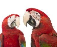 Close-up van twee Green-winged Ara's, 1 éénjarige Royalty-vrije Stock Afbeelding