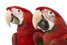 Close-up van twee Green-winged Ara's, 1 éénjarige Stock Foto's