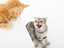 Close-up van twee katten in een conflict over witte achtergrond stock afbeeldingen