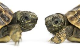 Close-up van twee schildpad die van babyhermann elkaar onder ogen zien royalty-vrije stock afbeelding