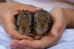 Close-up van twee uiterst kleine babykonijntjes die in menselijke handen met gezichten worden gehouden die camera bekijken stock afbeelding