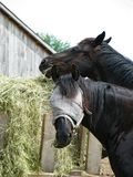 Close-up van twee zwarte paarden die hooi in wagen eten buiten, ??n die vliegmasker dragen en camera bekijken royalty-vrije stock fotografie
