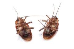 Close-up van tweeling dode kakkerlakken stock afbeelding