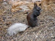 Close-up van uiterst zeldzame Kaibab-eekhoorn dichtbij het Noordenrand van Grand Canyon Stock Foto's
