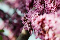 Close-up van vele roze Cercis-bloemen Bloemen in bloei op een roodbruine tak in de lente stock fotografie