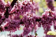 Close-up van vele roze Cercis-bloemen Bloemen in bloei op een roodbruine tak in de lente stock afbeeldingen