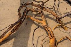 Close-up van verdraaide die takjes in het zand van Paraty Mirim, een tropisch strand dichtbij Paraty worden begraven stock afbeeldingen