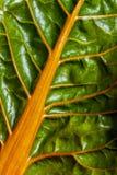 Close-up van vers blad van snijbieten Zwitserse snijbiet stock foto's