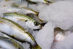 Close-up van vers Gevangen Bogue Vissen of Boops Boops voor Verkoop in de Griekse Vissenmarkt Stock Foto
