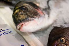 Close-up van vers Gevangen jonge zeug-Hoofd Overzeese die Brasem of Sparus Aurata op Ijs voor Verkoop in de Griekse Vissenmarkt w Royalty-vrije Stock Fotografie