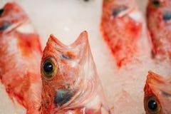 Close-up van vers Gevangen Rode die Scorpionfish of Scorpaena Scrofa op Ijs voor Verkoop in de Griekse Vissenmarkt wordt opgestel Stock Afbeeldingen