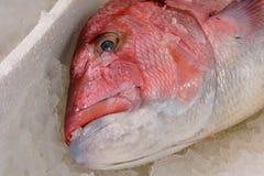 Close-up van vers Gevangen Rode Snapper of Lutjanus Campechanus met Scherpe Tanden op Ijs voor Verkoop in de Griekse Vissenmarkt Stock Foto's