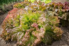 Close-up van verse het groeien kleurrijke sla in moestuin bloeiende bladeren rode en groene salade Stock Afbeelding
