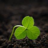 Close-up van verse spruiten van grasklaver Het symbool van holi Royalty-vrije Stock Foto
