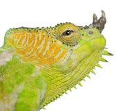 Close-up van vier-Gehoornd Kameleon Stock Afbeeldingen