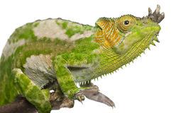 Close-up van vier-Gehoornd Kameleon Royalty-vrije Stock Afbeeldingen