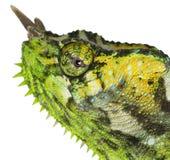 Close-up van vier-Gehoornd Kameleon, Chamaeleo Royalty-vrije Stock Afbeeldingen