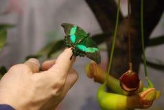 Close-up van Vlinder op Hand Royalty-vrije Stock Afbeeldingen