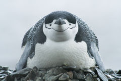 Close-up van vogel, chinstrap pinguïn (Pygoscelis Antarctica) Stock Foto